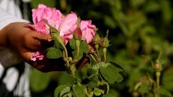 Culture des Roses